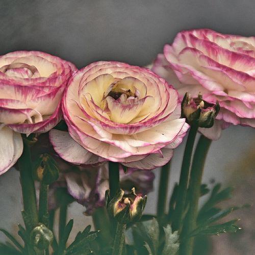 Flower Head Flower Studio Shot Petal Rose - Flower Leaf Pink Color Close-up Plant