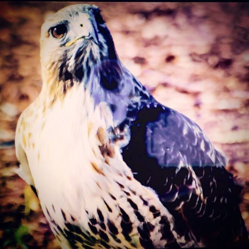 View TTL. (Shot of LCD on my D3, using iPhone),capture RT Hawk at 40Yds. Wildlife Hawk IAmNikon, Lifegiant,