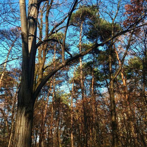Autumn Beauty In Nature Nature Sky Outdoors Forest Beauty In Nature Nature Pine Pine Trees Erdő Nagyerdő Fenyő ősz ősz