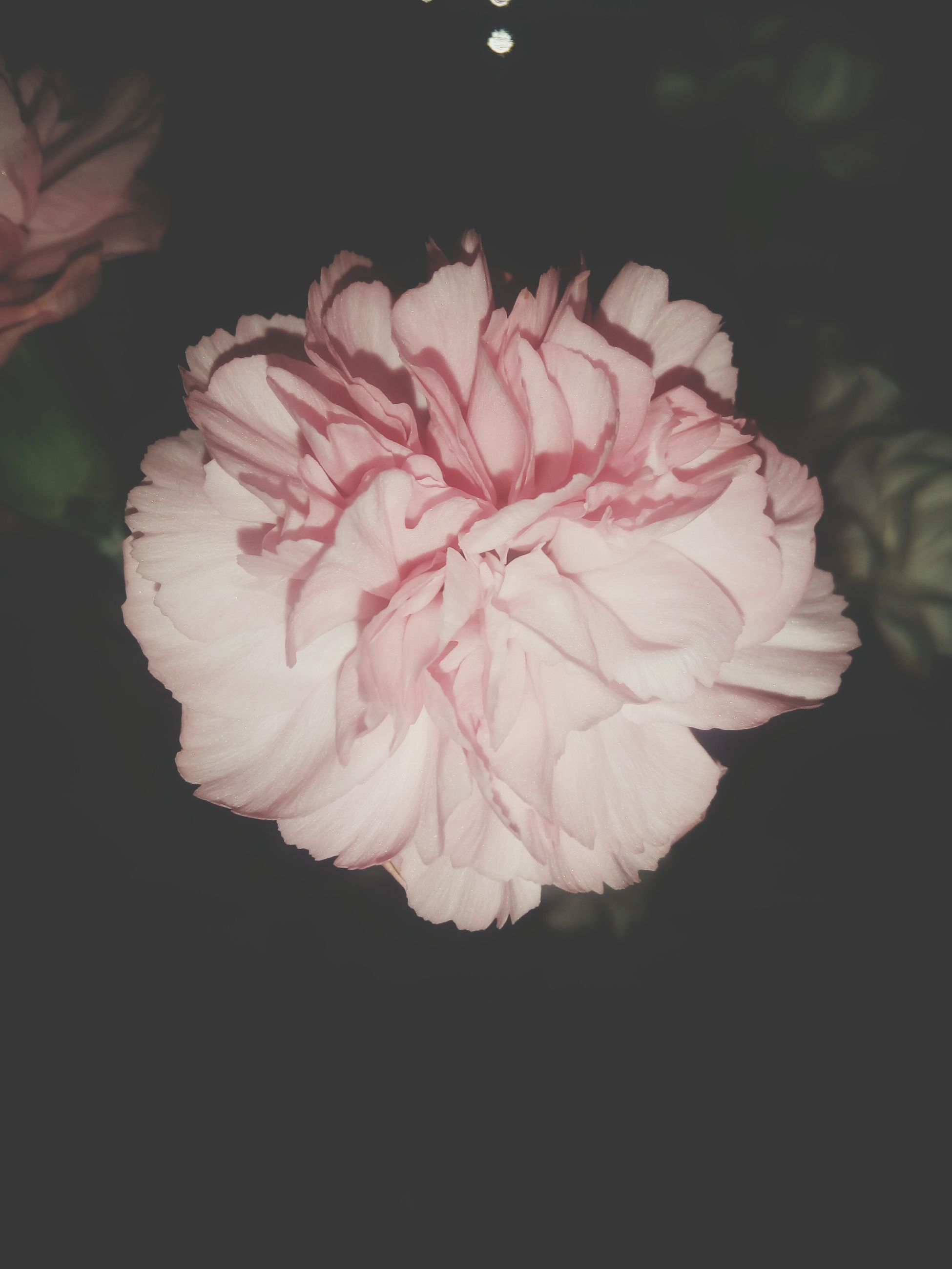 flower, petal, flower head, fragility, freshness, beauty in nature, close-up, single flower, growth, black background, nature, blooming, studio shot, pink color, night, rose - flower, in bloom, plant, no people, blossom