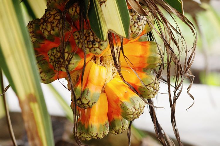 Hello World Hello Seychelles Nature Close-up Beauty In Nature Hanging Pandanus Palm Tree Pandanus Palm Seed Growth Seed Colorsplash Seychelles Taking Pictures Click Click 📷📷📷 Traveling Exploring Enjoying Life Paradise Real Life Details Eye For Details Palm Tree Fruit Colorful Seychelles Islands