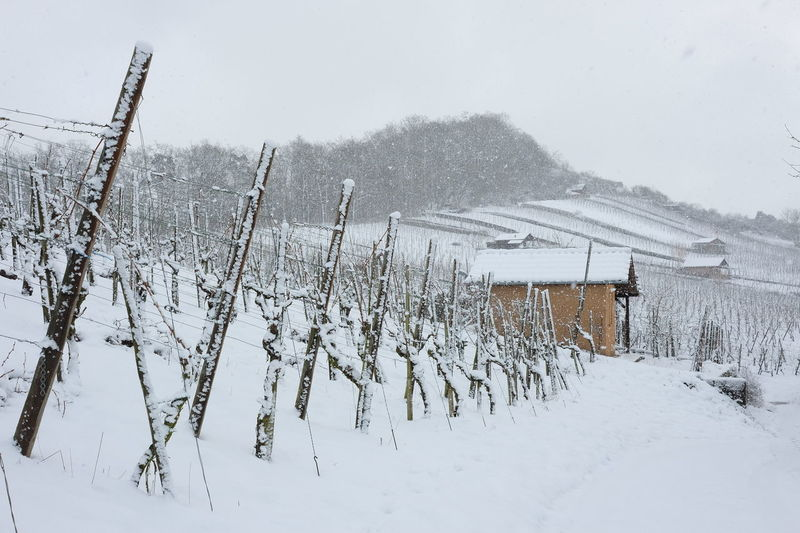 Winter Cold Temperature Frozen Landscape No People Outdoors Snow Covered Snow Fall Vine Rows Vineyard Cultivation Vineyard In Winter Viniculture Weather White Color