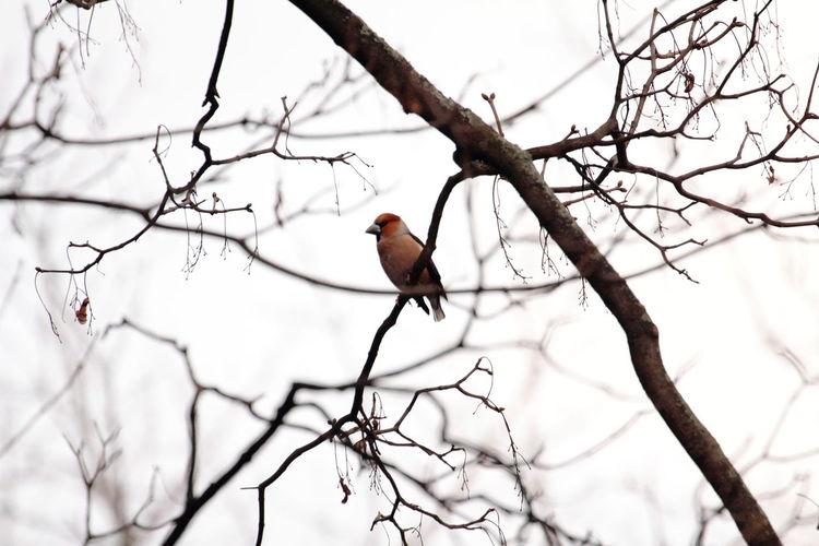 Bird Bouvreuil Branch Bullfinches Pyrrhula Pyrrhula Erythrocephala