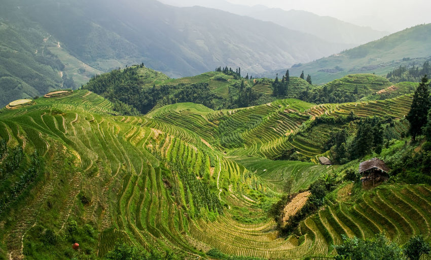 Landscape rice fields on terraced in Longsheng. Guangxi, China. Longsheng Rice Rice Paddy Terraces Terraced Field Landscape Longji Rice Terrace Field China ASIA Asian  Nature Agriculture Green Farm Travel Backbone Ground Yuanyang Yuanyang Terraced Fields Mountain Valley Paddy Field Beautiful Harvest