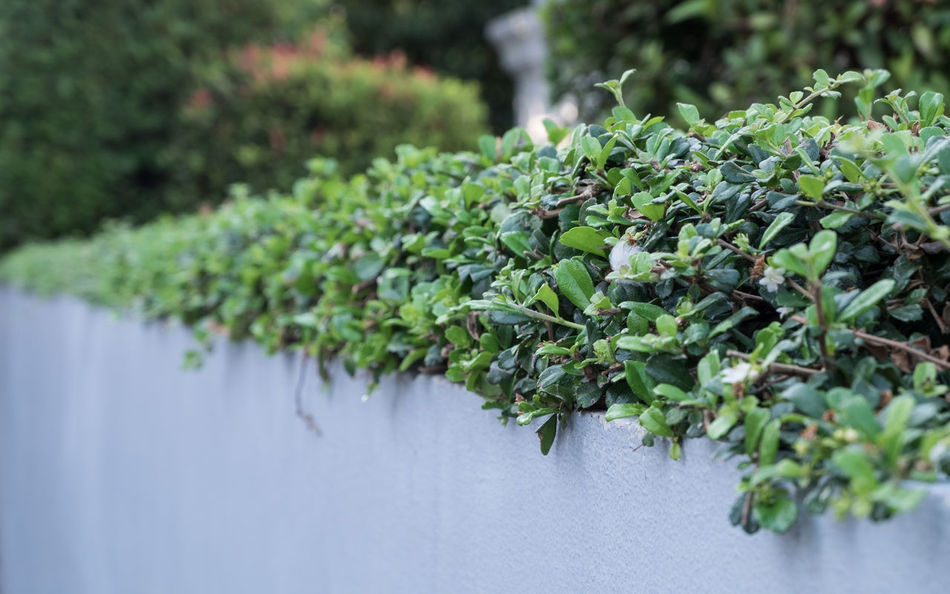 Low shrubbery on white solid wall. Close-up Fence Freshness Front Focus Green Color Growth Leaf Nature Outdoors Plant Safety Scenics Season  Shrubbery Solid Water