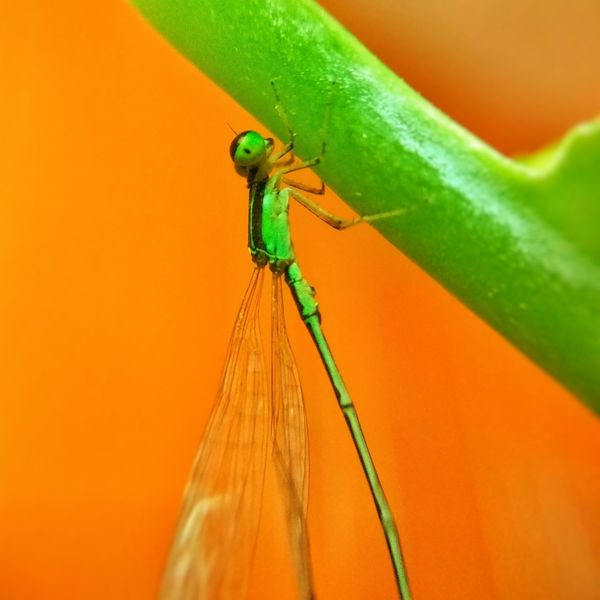 Damselfly Damselfly Damselfly On Plant Damselfly Portrait Insects Animal Wildlife Insect Photography Leaf No People Nature Photooftheday RedmiNotePhotography Eyem Nature Lovers  EyeEm Best Shots - Nature Eyemgallery RedmiNote3Pro Pictureoftheday Macroattempt Redmi Note 3 + Snapseed Eyeemphotography EyeEm Gallery Macroshots Orange Color Insect Close-up Eyem Best Edits