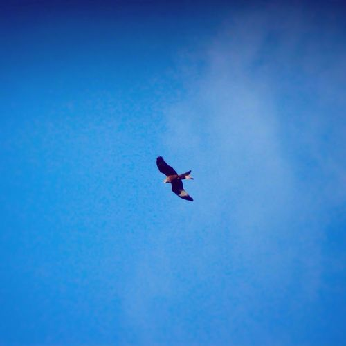 Red Kite Bird Birds Birds Of Prey Predator Hunting Wildlife Nature Flying Yorkshire Leeds Leeds, UK Red Kites