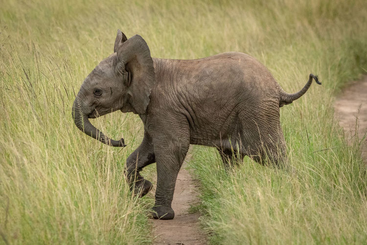 Side view of elephant calf walking on grassy land