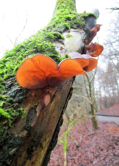 Beauty In Nature Close-up Day Freshness Fungi Fungus Growth Jelly Ear Fungi Jews Ear Fungi Low Angle View Moss Nature No People Outdoors Tree