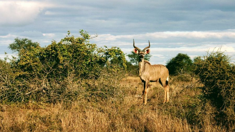 Impala Looking At Camera In South Africa