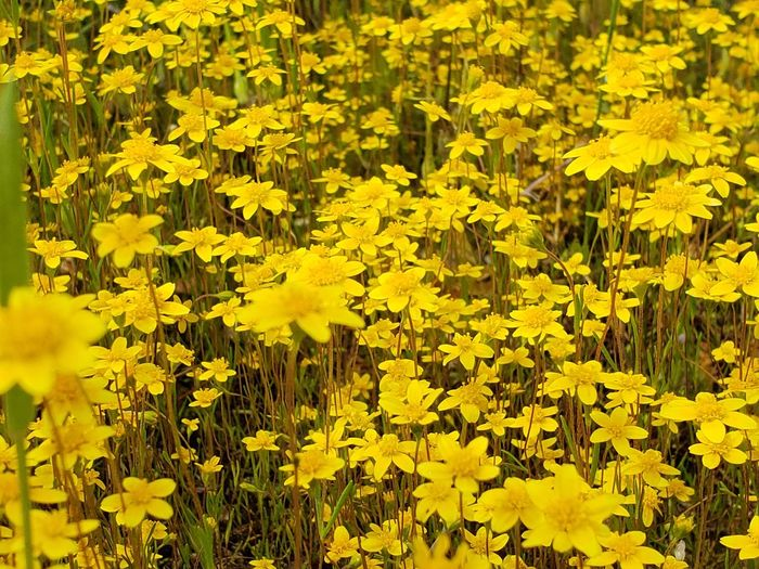 Flower Flower Head Yellow Black-eyed Susan Summer Vibrant Color Leaf Daffodil Close-up Plant In Bloom Blooming Botany Hydrangea Cosmos Flower
