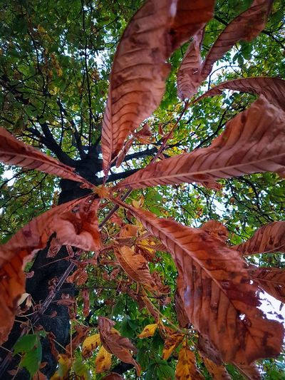 Nature Low Angle View Tree Horse Chestnuts Horse Chestnut Leaves Beauty In Nature Outdoors Autumn Colours Travel Destinations