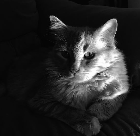Domestic Cat Domestic Animals Sofa Mammal Pets Animal Themes Indoors  Feline One Animal No People Sitting Close-up Day Pet Portraits