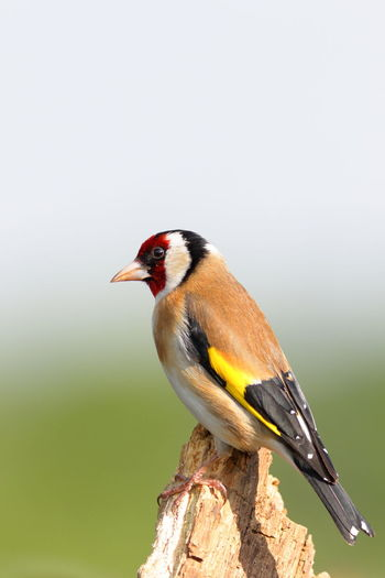 Bird Photography Birds Of EyeEm  Birds🐦⛅ Birdwatching Nature Nature Photography Animal Themes Animal Wildlife Animals In The Wild Beauty In Nature Bird Birds Birds_collection Garden Birds Goldfinch Nature Nature_collection One Animal Perched Perching Songbird  Wildlife