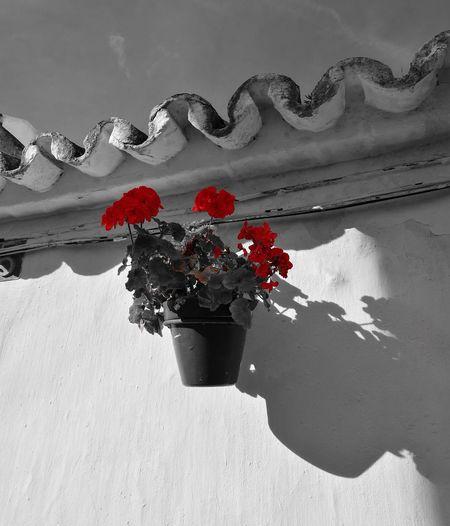 Malvón Black & White Red Estepona