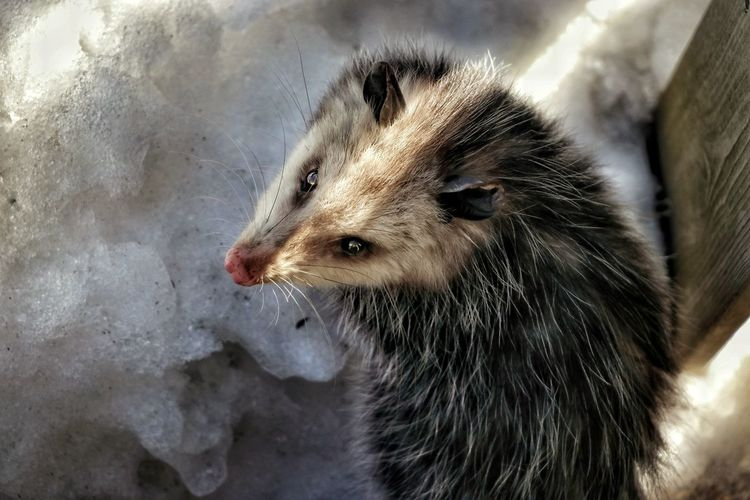 Curious Light And Shadow Oppossum Ontario, Canada Snow Fence Winter Backyardphotography Ray Of Light Close-up Animal Themes Whisker 17.62° My Best Photo