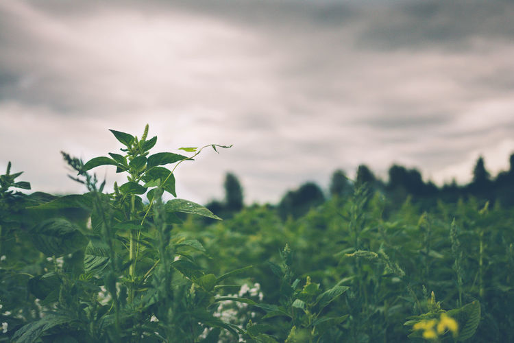 Close-Up Of Plants Growing On Field Against Cloudy Sky