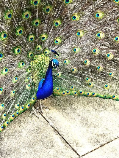 Peacock Bird Peacock Feather Feather  Fanned Out Blue Outdoors Nature Close-up Multi Colored Beauty In Nature Peafowl Head Animal Crest Full Frame Peafowl