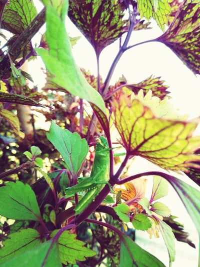 Locusts Hiding In Trees Animal Small Insects Tree Flower Leaf Branch Close-up Plant Green Color