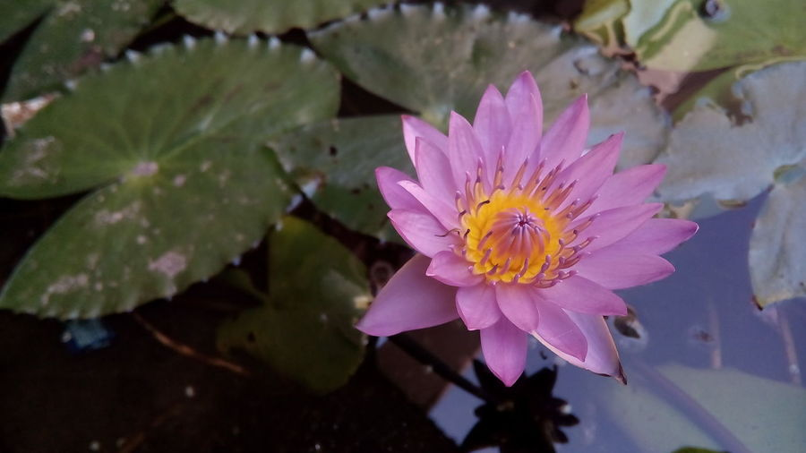 Flower Freshness Water Fragility Water Lily Petal Flower Head Pond Leaf Floating On Water Beauty In Nature Growth Close-up Nature Single Flower Lotus Water Lily Purple Plant In Bloom Springtime EyeEm Selects
