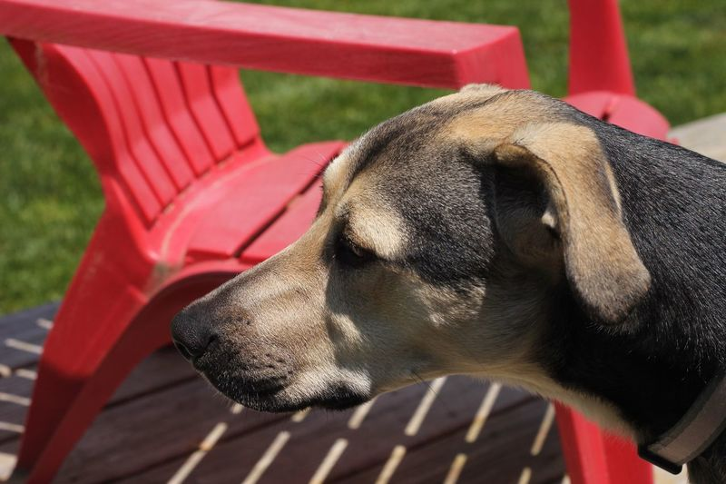 Portrait of a Rottweiler beagle mix next to a red chair in the sun EyeEm Selects Animal Themes One Animal Animal Mammal Vertebrate Animal Body Part Domestic Animals Focus On Foreground Close-up No People Domestic Day Relaxation Pets Canine Dog Animal Wildlife Sunlight Animal Head  Resting