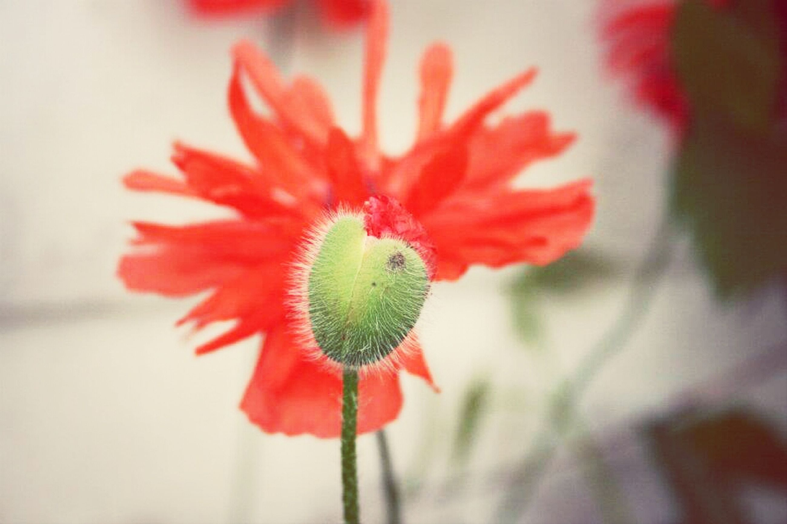 flower, freshness, flower head, petal, fragility, red, growth, close-up, beauty in nature, single flower, focus on foreground, plant, nature, blooming, stem, pollen, in bloom, bud, selective focus, botany