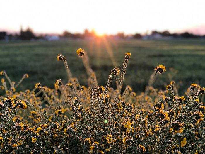 Letting the sunshine in. Sunrise_Collection Sunrise_sunsets_aroundworld Sunrise Growth Plant Beauty In Nature Field Land Nature Focus On Foreground Flower Tranquility Landscape