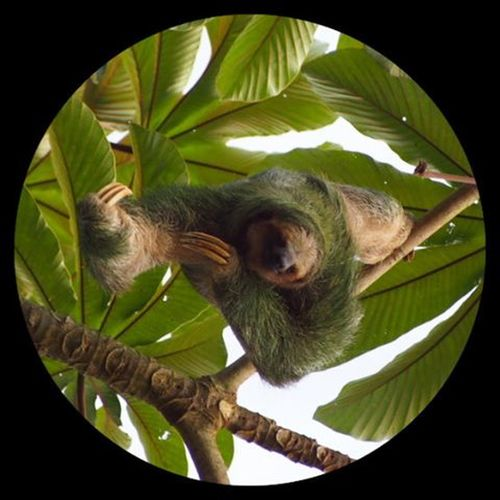 A wild 3 toed sloth, hanging around in La Fortuna -------------------------------------------- Sloth Sloths Cutesloth Gadventures Costarica Explorecostarica Costaricaadventures Cute Squee Nature Naturelovers Instanature Green Mossy Lazy Mask Threetoedsloth Olympus Travel Travelling Travels Instatravel Wanderlust