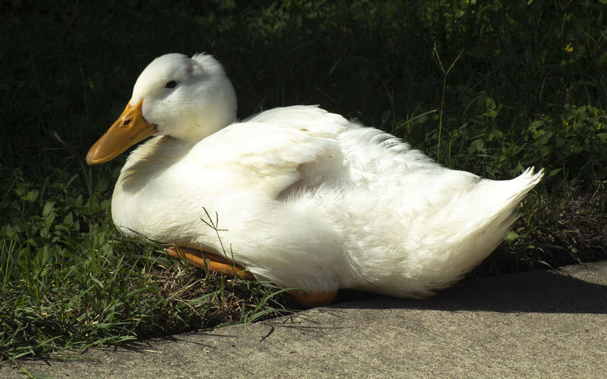 White duck Duck