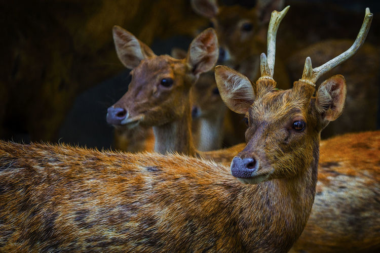 Deer Deer ♥♥ Deer Deers Deer Moments Deer Collection Deer Photography Animal Animal Themes Animal Wildlife Animals Deer Hunting Deer Animal Love Deer Deer Life Deer Park Deer Deers Watching Deer Head Head Deer Deer Looking