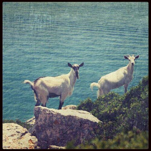 》croatia》summer》2013》lone》island》goats》sea