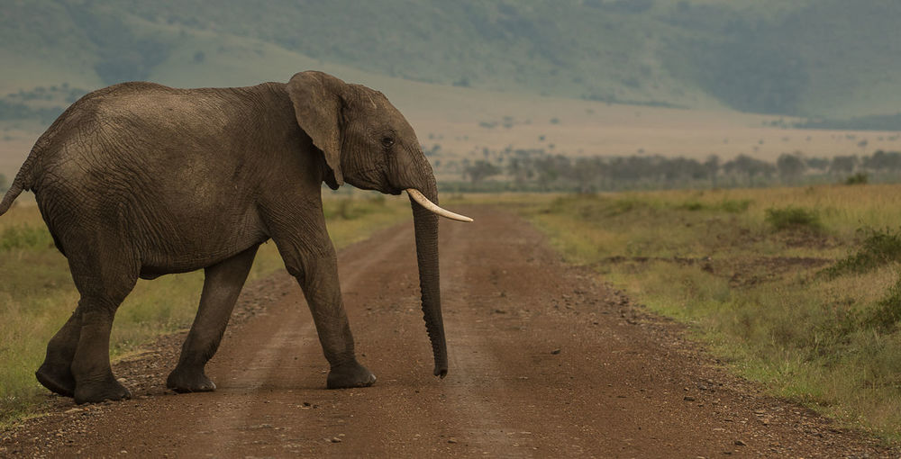 A young elephant calf crossing the road in Masai mara Elephant Crossing The Road Kenya Masai Mara Nature Wildlife & Nature Wildlife Photography Young Elephant Africa African Elephant Animal Animal Wildlife Animals In The Wild Big Five Animals Elephant Elephant Calf Elephants Herbivorous Mammal Safari Safari Animals Wild Elephant Wildlife Young Animal