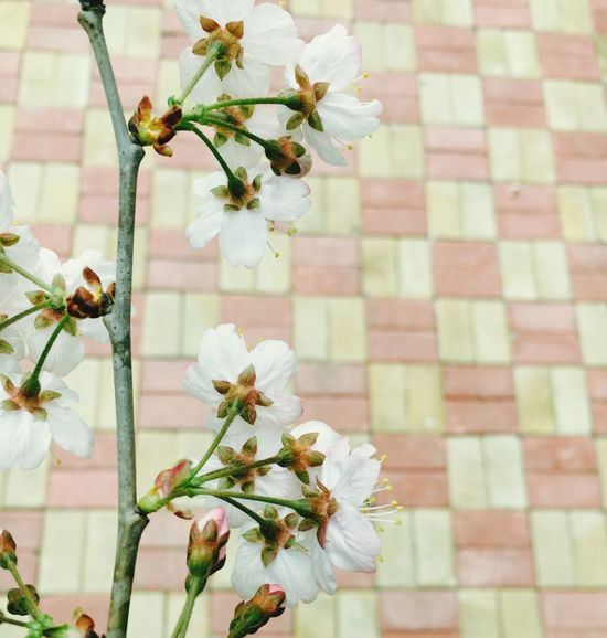 Urban Spring Fever Cherry Blossoms Tree Green Flower Cherry Tree Cherry Come Across Iponeography