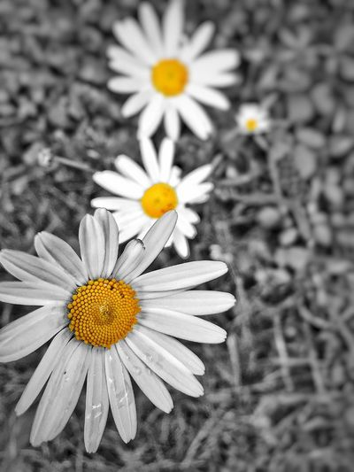 Blackandwhite Photography Colorsplash Daisy Weed Life