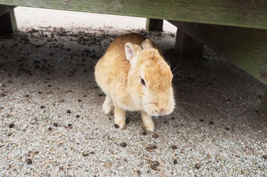 Animal Animal Themes Brown Cute Day Mammal No People Outdoors Rabbit Rabbits Rabbits 🐇 兎 大久野島