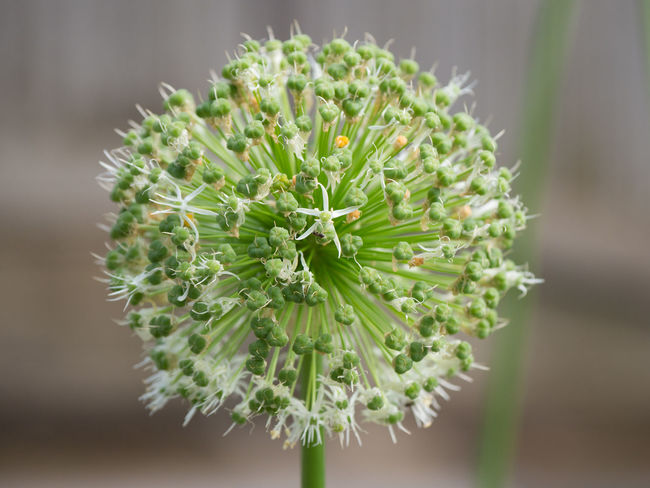 Globe Thistle and Ant Echinops Sphaerocephalus Ant Beauty In Nature Close-up Day Flower Flower Head Flowering Plant Focus On Foreground Fragility Freshness Globe Thistle Green Color Growth Nature No People Plant Selective Focus Succulent Plant