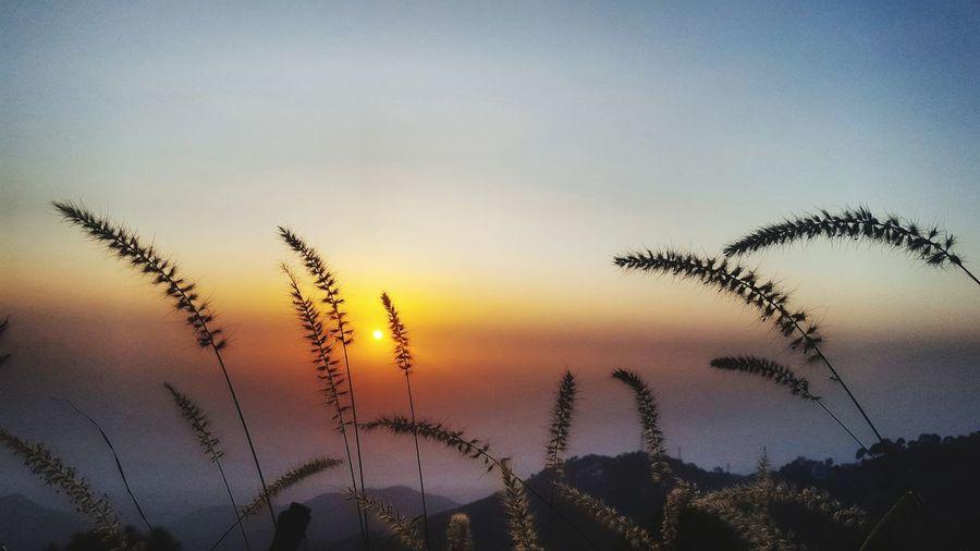 sunset through grass flower Grass Flowers Sunset Ombre Sky Flower PhonePhotography Selhuette Light And Shadow Grassandsun Sunset Flying Silhouette Bird Sky Close-up