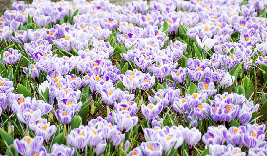 Beautiful spring flower crocus in various colors, purple, yellow, white and violet growth in garden nature, a genus of flowering plants in the iris family. Sweet flower in eary spring. Flowering Plant Flower Freshness Plant Vulnerability  Beauty In Nature Fragility Growth Close-up Abundance Petal No People Field Nature Flower Head Full Frame Land Inflorescence Backgrounds Day Purple Springtime Flowerbed