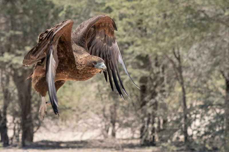 Bateleur eagle in flight Animal Themes Bird Spread Wings Flying Animals In The Wild Bird Of Prey Nature Motion Outdoors Eagle Bateleur Eagle EyeEm Nature Lover EyeEm Birds Birds Of Africa Kgalagadi Transfrontier Park Raptor Juvenile Birds Wings South Africa
