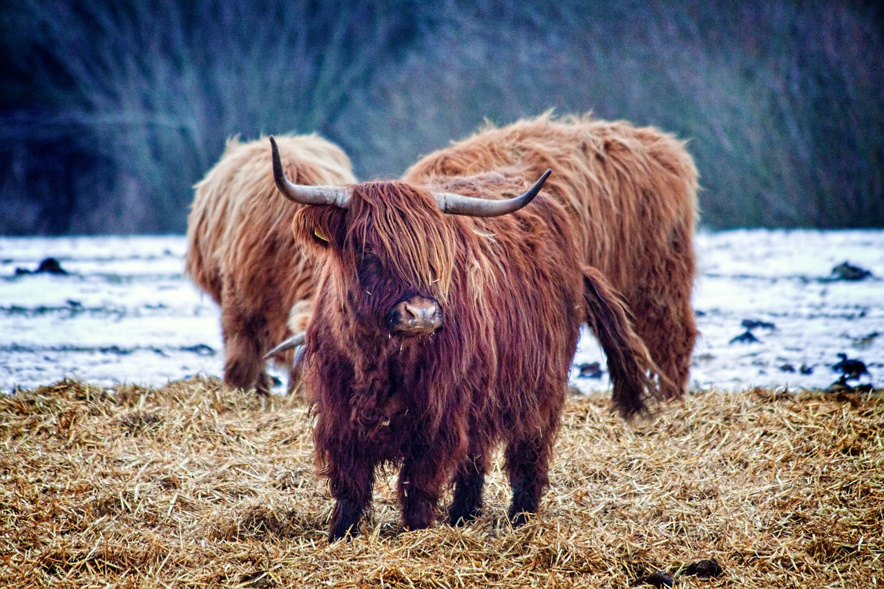 animal themes, domestic animals, mammal, field, highland cattle, one animal, livestock, nature, no people, focus on foreground, outdoors, day, standing, winter, grass, snow, beauty in nature, close-up