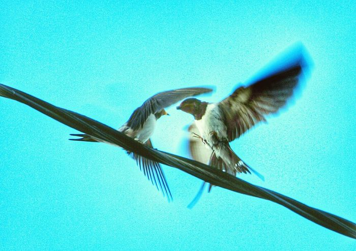 Flyingbirds Birds Birds_collection Spreading Wings Nature_collection Swallow Color Of Life Swallows Swallowtail. Martin Two Is Better Than One