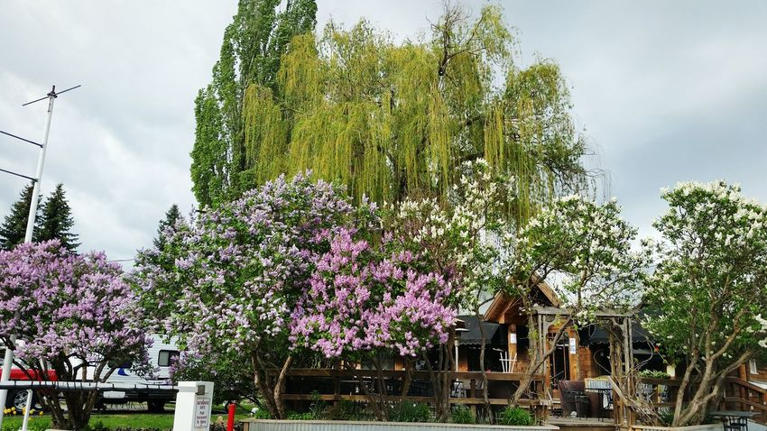 Klinks Resort Spingtime Colours Springtime Spring Flowers Lilacs Lilac Tree Eye4photography  Outdoors Photograpghy  EyeEm Nature Lover Willow Tree Willams Lake Pacfic Northwest Spring Colors Took photo outside Klinks on the lake Restaurant at Willams lake Wa The Essence Of Summer