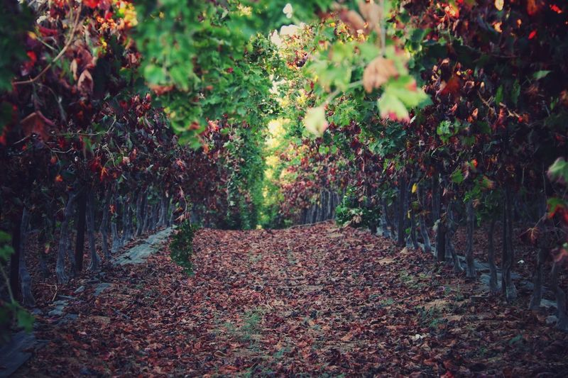 Enter Autumn Vine Vineyard Growth Tranquility No People Tree Beauty In Nature Day