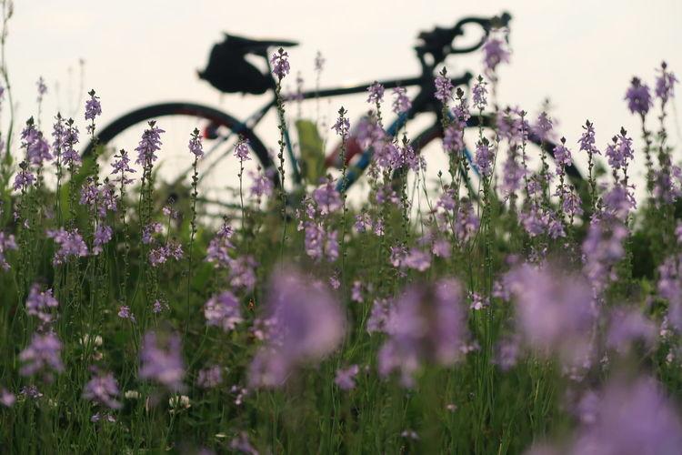 サイクリング 自転車 ロードバイク 春 花 草花 Morning Flower Purple Nature Growth Beauty In Nature Close-up Cycling Outdoors 写真好きな人と繋がりたい 写真撮ってる人と繋がりたい EyeEm Gallery Beautiful Road Green Color 緑 写真 写真好き Wild Flower