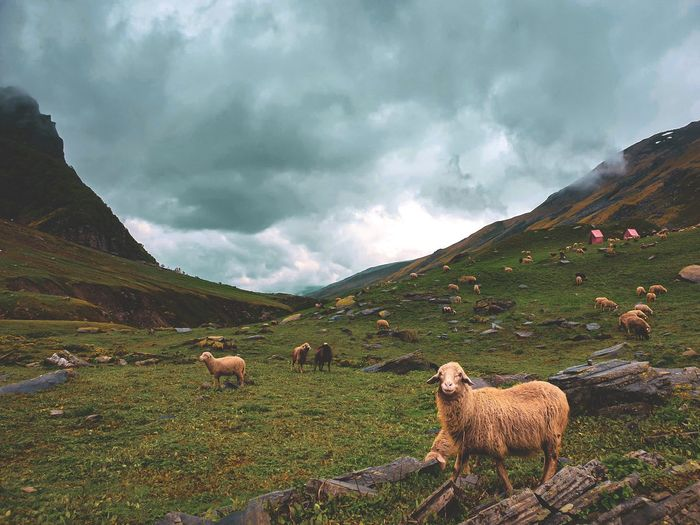 Flock of sheep grazing on the grass fields of landscape of himalayas.