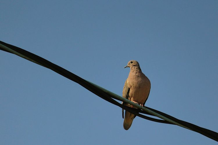 Pigeon Pigeon Bird  Bird Bird Of Prey Mourning Dove Perching Blue Sky
