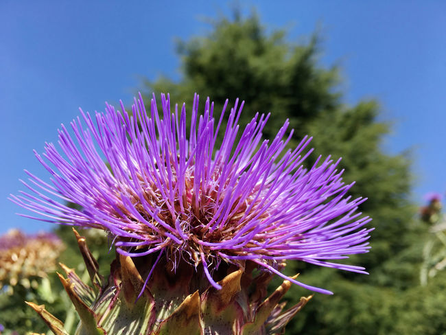 Cardoon, Cynara sardunculus Beauty In Nature Blooming Botany Cardoon Close-up Cynara Sardunculus Flower Flower Head Focus On Foreground Fragility Freshness Growth In Bloom Nature No People Outdoors Petal Plant Purple Thistle