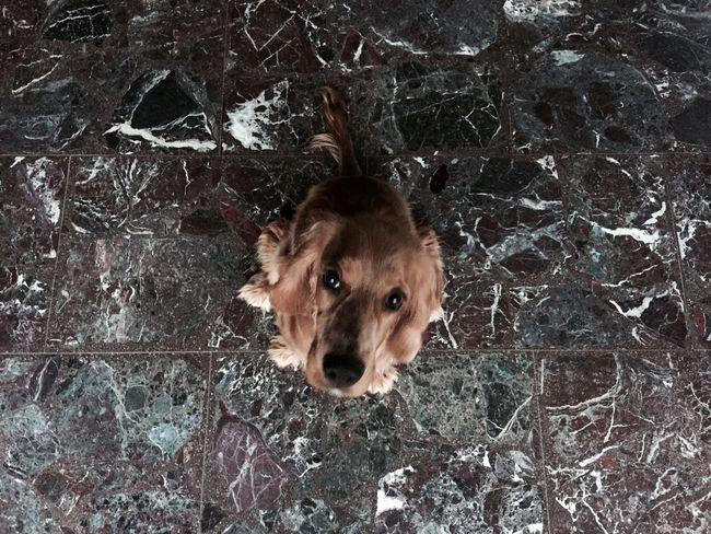 One Animal Dog Looking At Camera Zoology Minimal Brown Black Fur Eyes