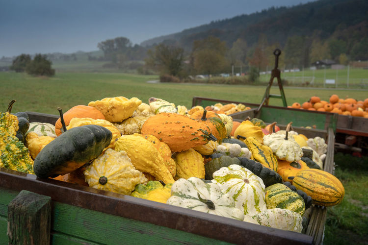 View of pumpkins in farm