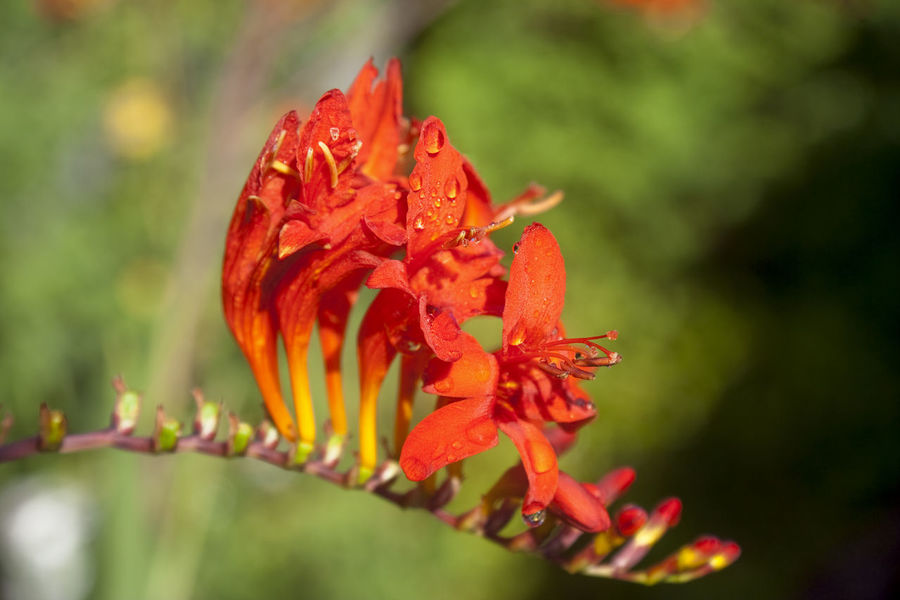 Crocosmia close-up - Red Flower in bloom Beauty In Nature Blooming Close-up Crocosmia Crocosmia Lucifer Dew Dew Drops Flower Flower Head Fragility Freshness Growth Montbretia Nature No People Outdoors Petal Plant Purity Red Scented Single Flower Sunlight Waterdrops Wet